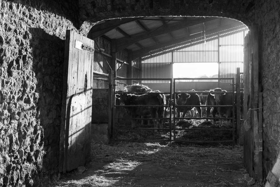 Cattle in the byre- Byland Abbey- November 2013
